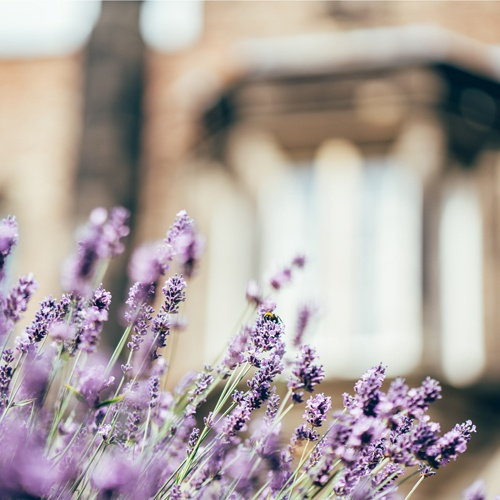 Lavender on campus